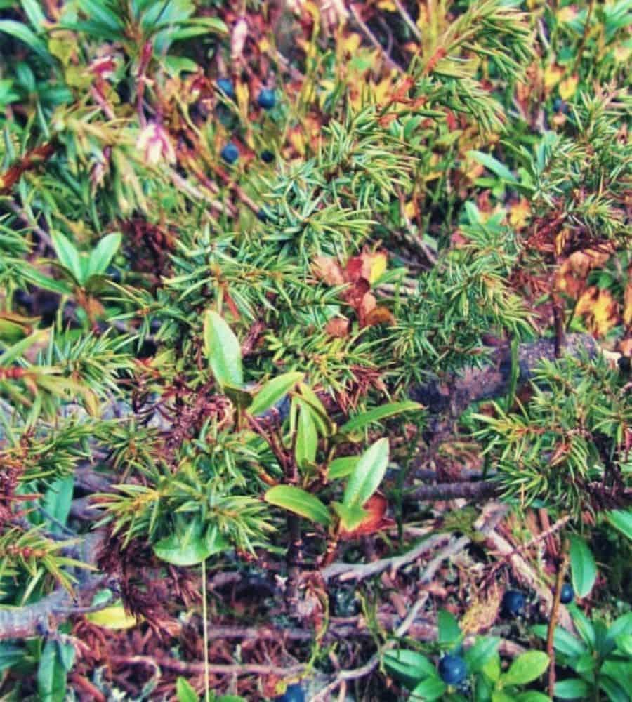 Edible myrtle berries