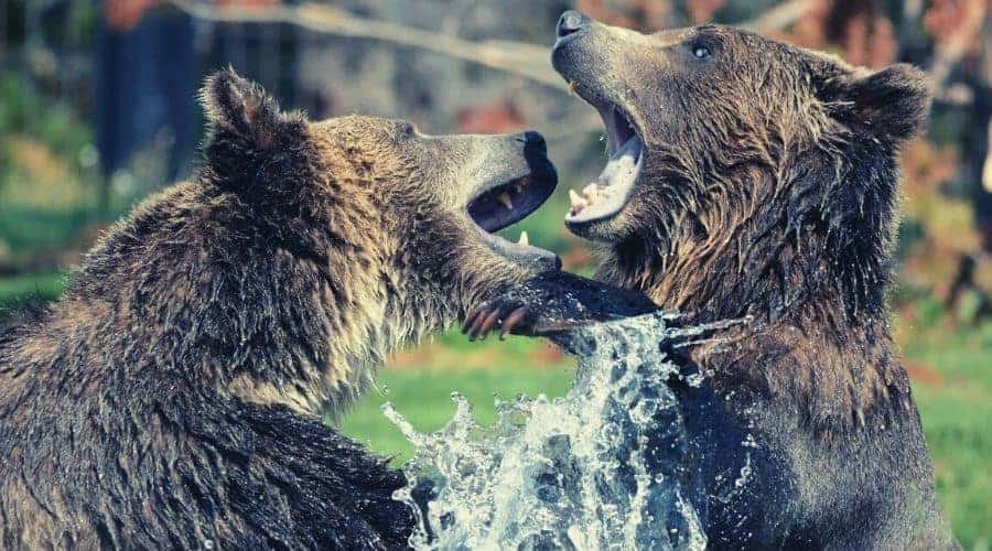grizzly bears playing