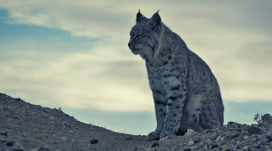 Bobcat sitting on a ridge intext