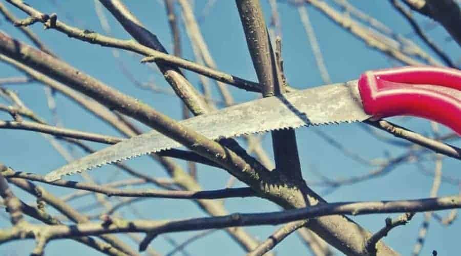 cut prune apple tree branch in spring garden with handsaw intext