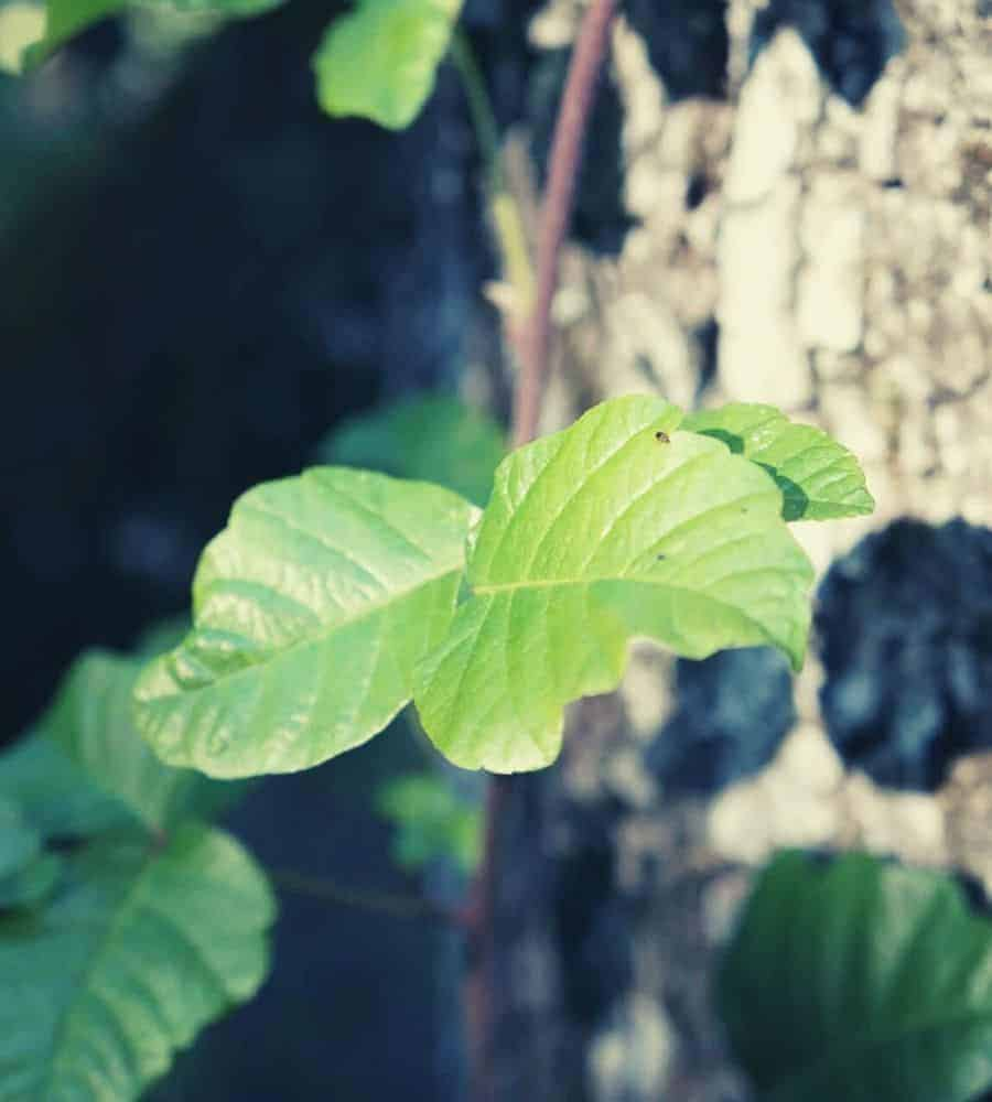 poison oak leaves vertintext