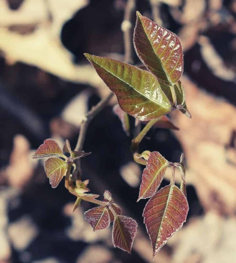 Poison ivy leaves with reddish hue vertintext