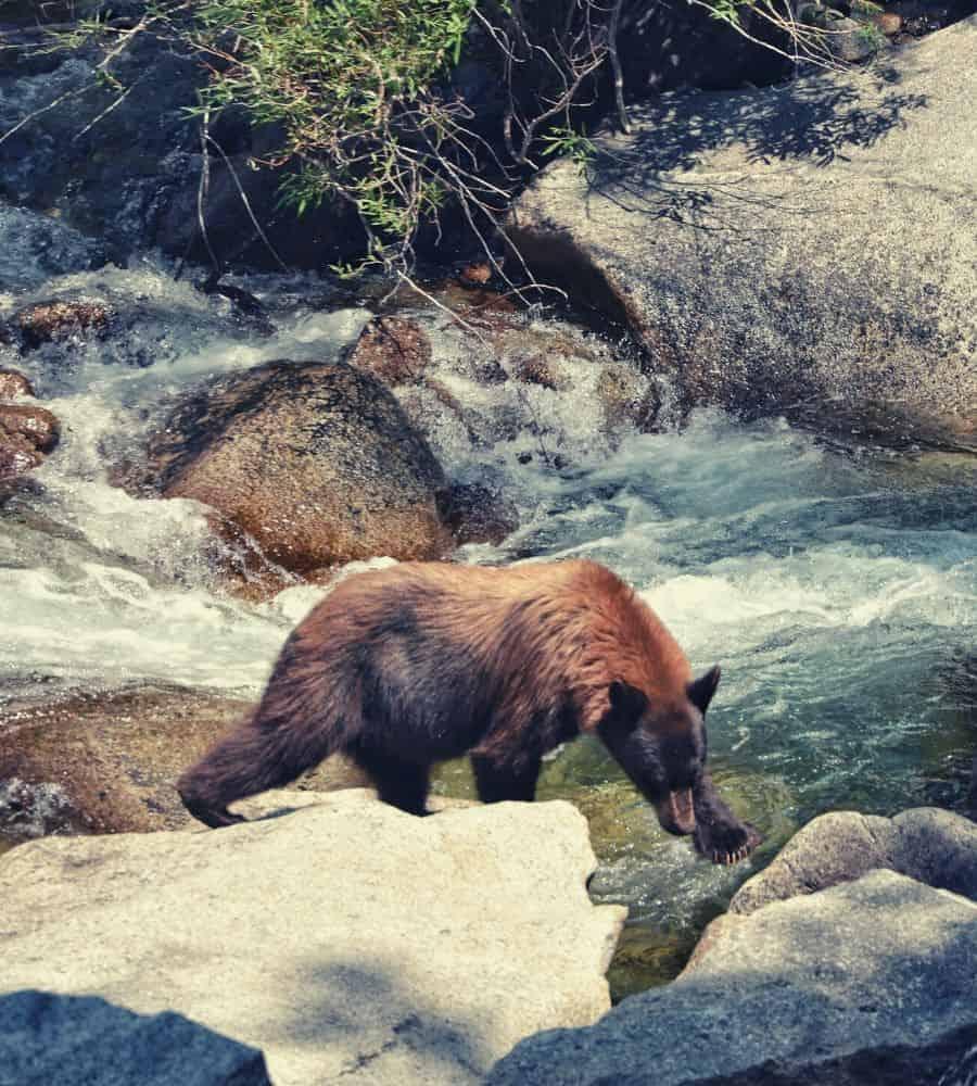 Rae Lakes Loop bear