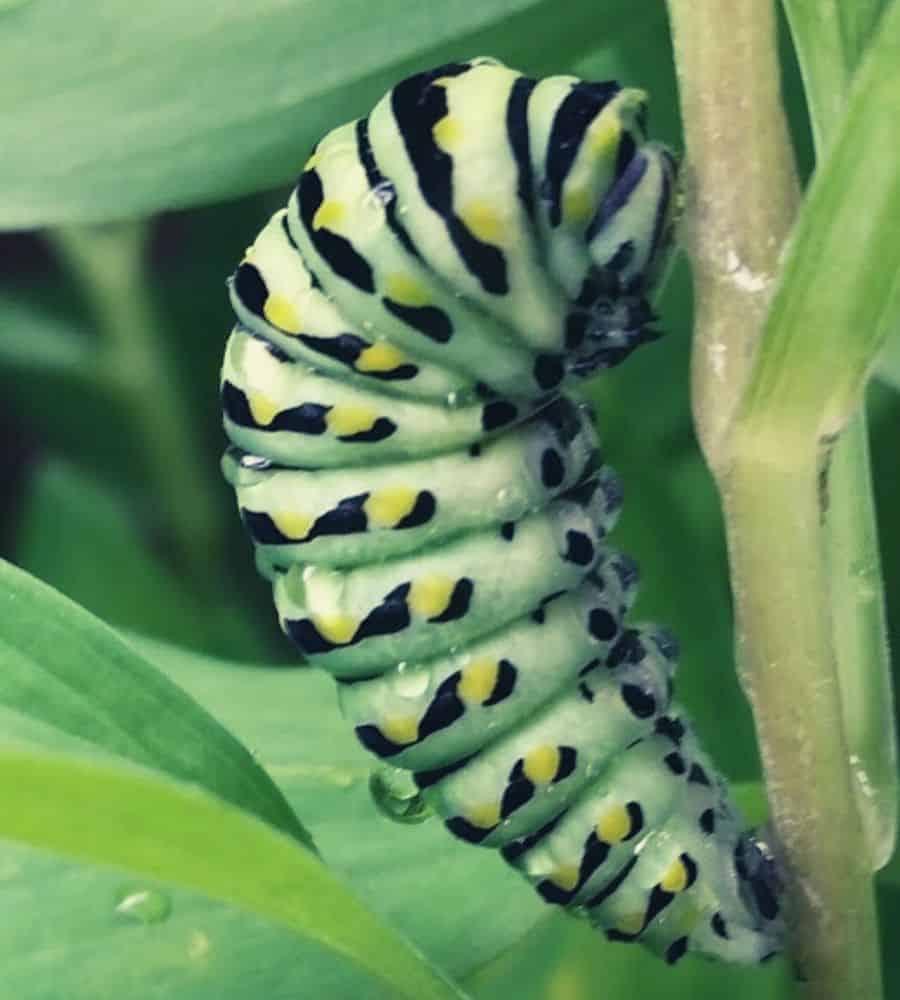caterpillar vertintext