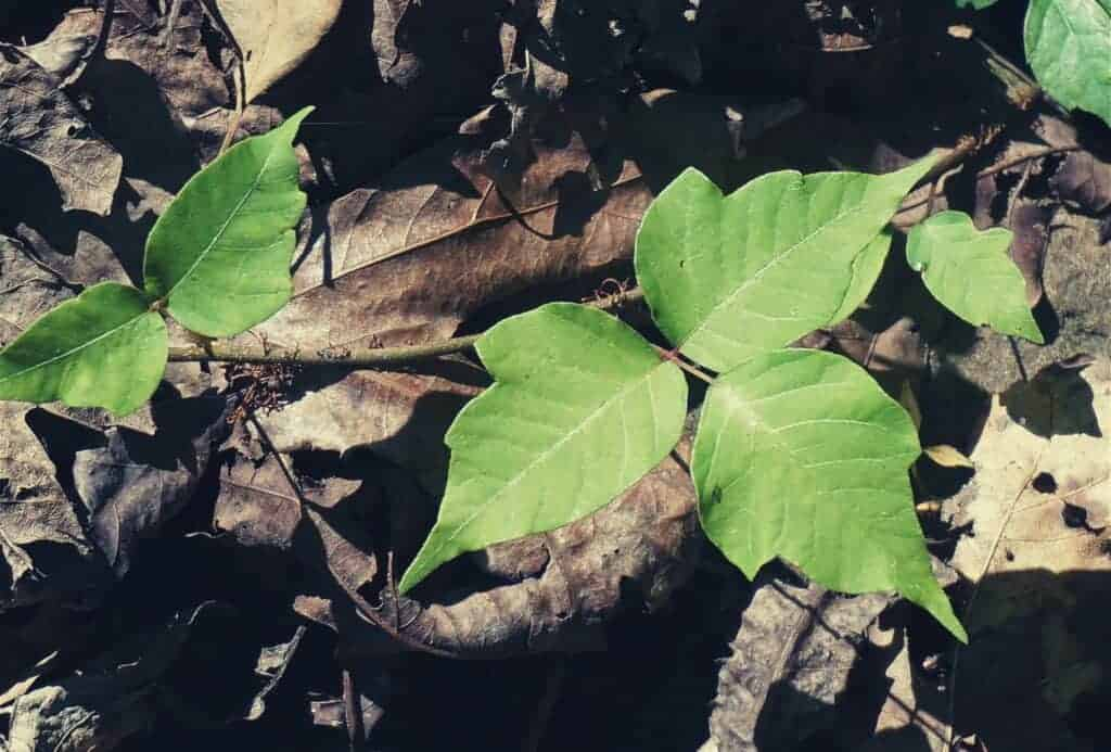 how to identify treat poison ivy featimage