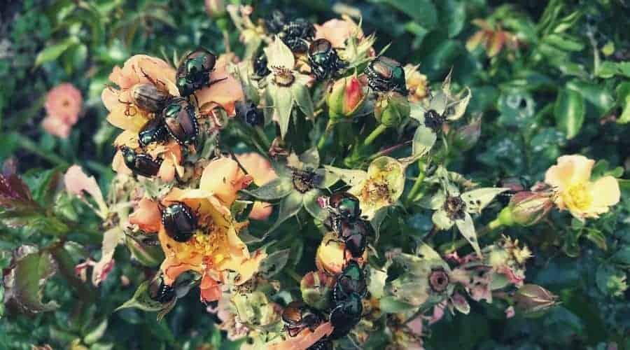 jap beetle