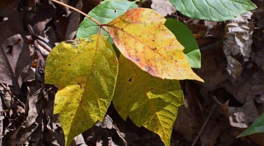 poison ivy fall discoloration intext