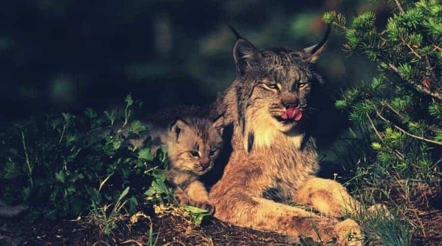 Canadian Lynx intext