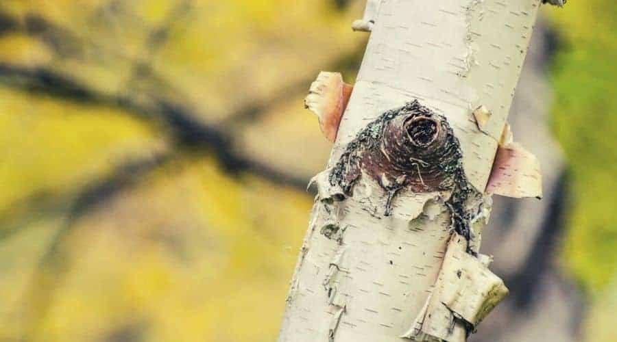 birch tree intext