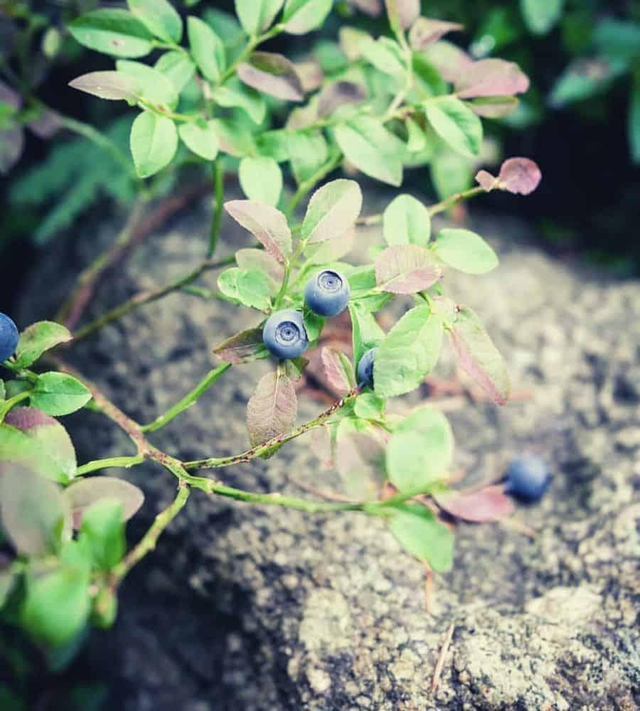closeup blueberries vertintext