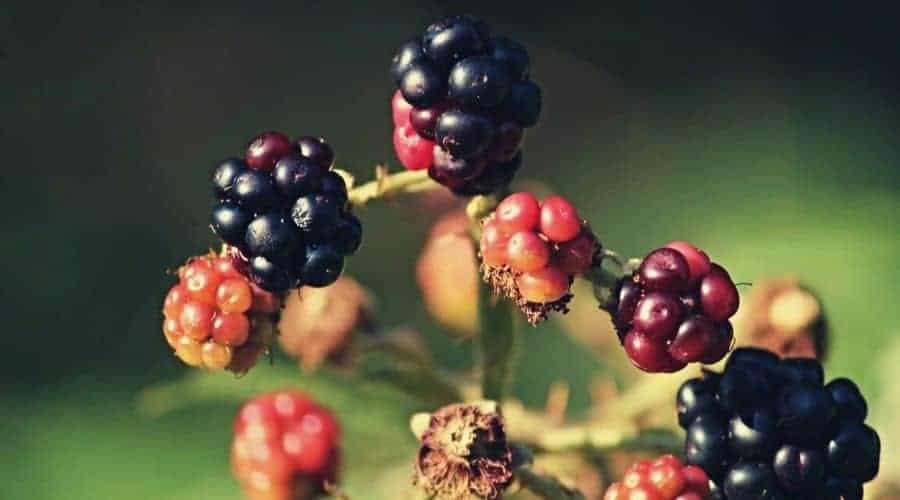 closeup brambles blackberries intext