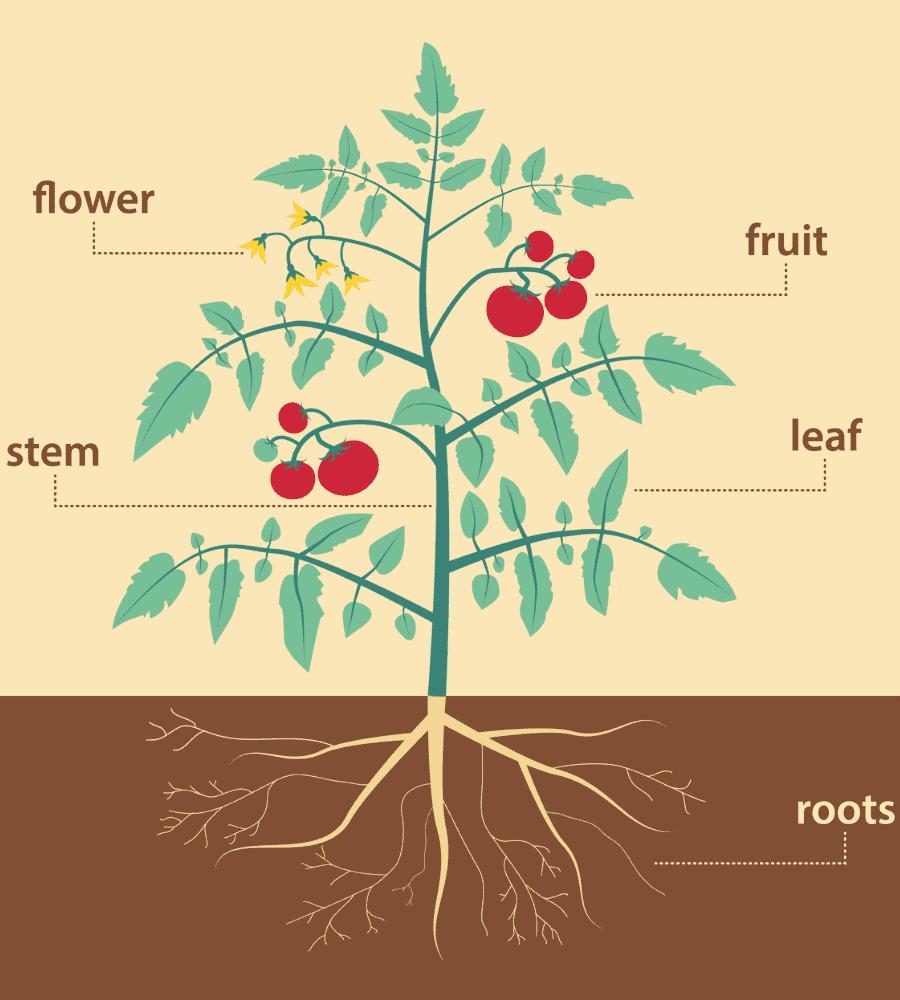 plant anatomy vertintext