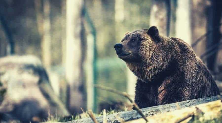 bear sitting in forest_intext