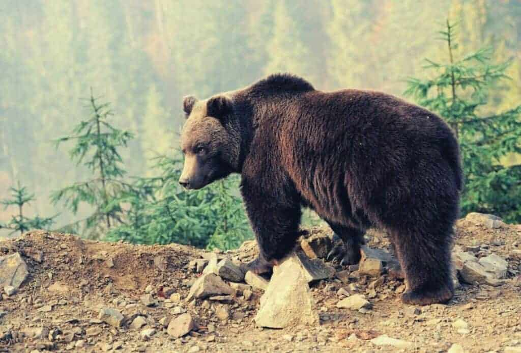 bears-attack-tents-featimage