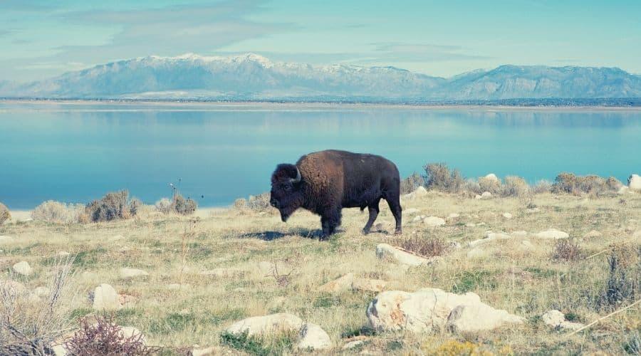 Buffalo in Antelope Island State Park Utah