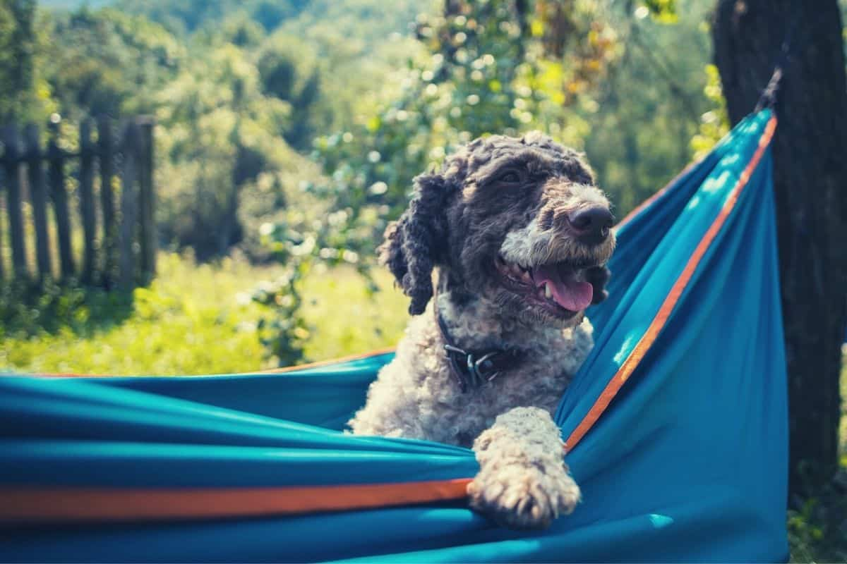 hammock camping with dogs - feat img