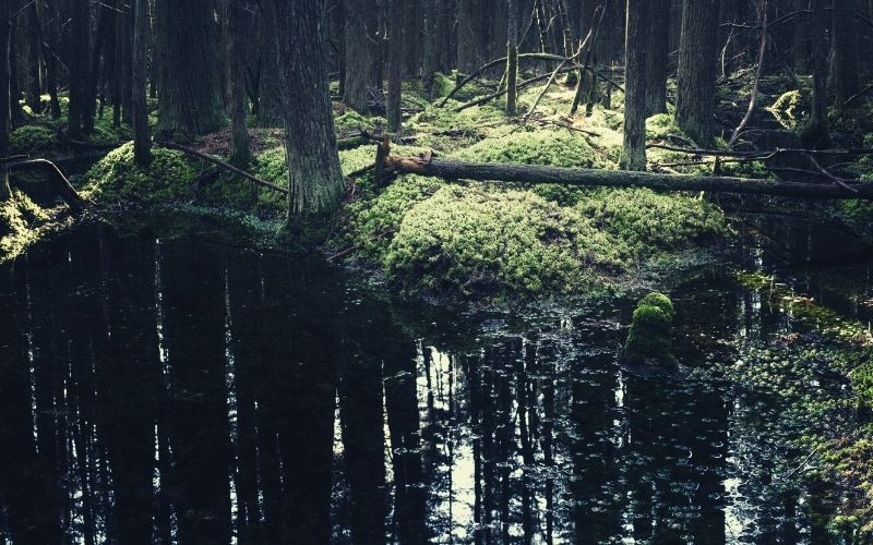 Atlantic White Cedar Swamp Trail, Douglas State Forest